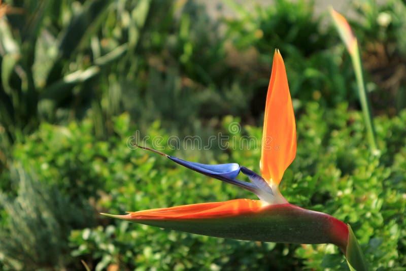 Cerrado encima de la flor anaranjada y azul viva de la ave del paraíso con follaje verde vibrante en fondo fotos de archivo libres de regalías