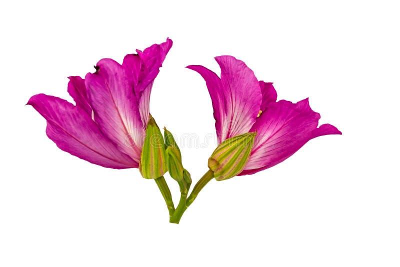 Cerrado encima de la flor o de la mariposa rosada Tre del aislante del purpurea del Bauhinia fotos de archivo