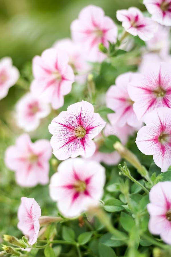 Cerrado encima de la flor de la petunia, flor rosada de la petunia fotografía de archivo