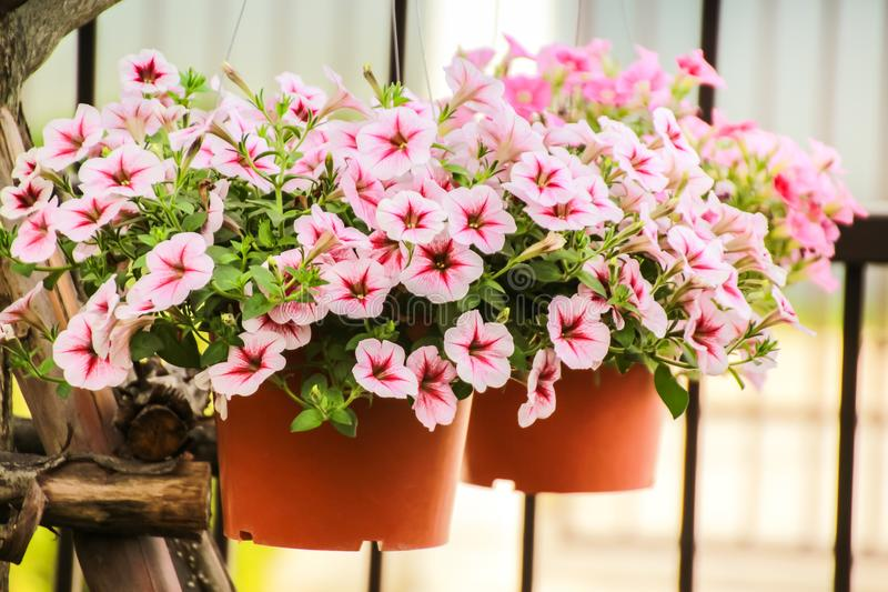 Cerrado encima de la flor de la petunia, flor rosada de la petunia foto de archivo libre de regalías