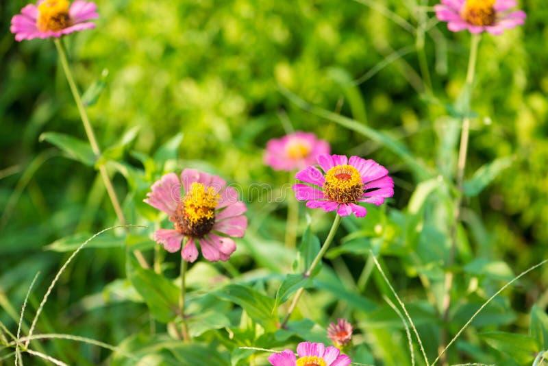 Cerrado encima de la flor rosada del Zinnia imagenes de archivo
