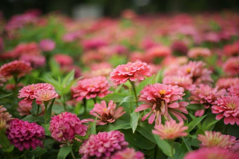 Cerrado encima de la flor rosada del zinnia en macizo de flores imagen de archivo libre de regalías