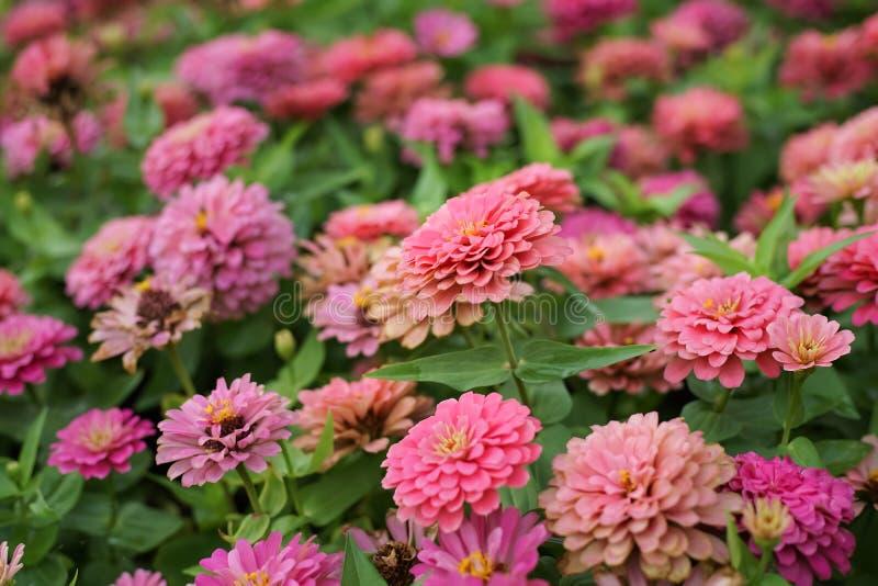 Cerrado encima de la flor rosada del zinnia en macizo de flores fotografía de archivo