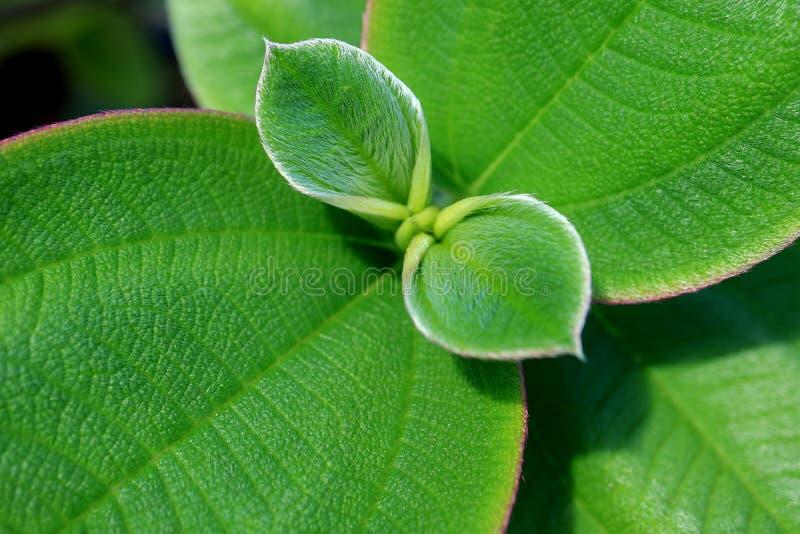 Cerrado encima de la textura de hojas melenudas jovenes verdes vibrantes imagen de archivo