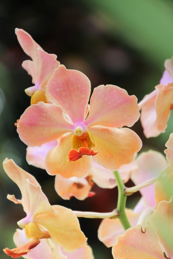 Cerrado encima de orquídea rosada en el jardín fotos de archivo