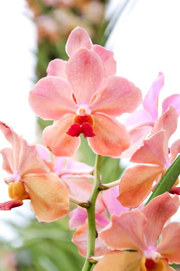 Cerrado encima de orquídea rosada en el jardín fotografía de archivo libre de regalías