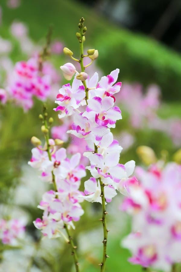 Cerrado encima de orquídea rosada y blanca en el jardín foto de archivo