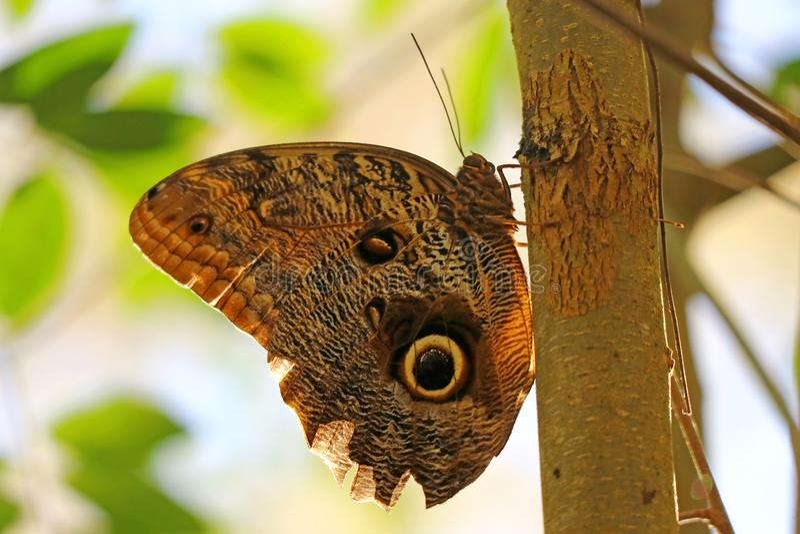 Cerrado encima de una mariposa grande del búho que descansa sobre el árbol en el parque nacional de las cataratas del Iguazú, Pue foto de archivo libre de regalías