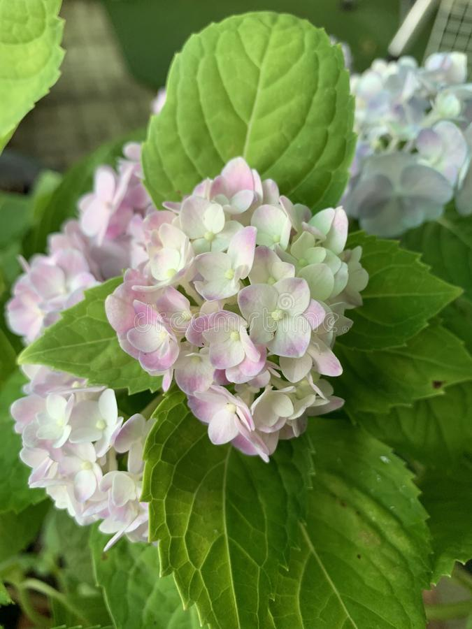 Cerrado hasta hortensia de la imagen tenga p?talos rosados, hojas verdes, en el jard?n fotos de archivo