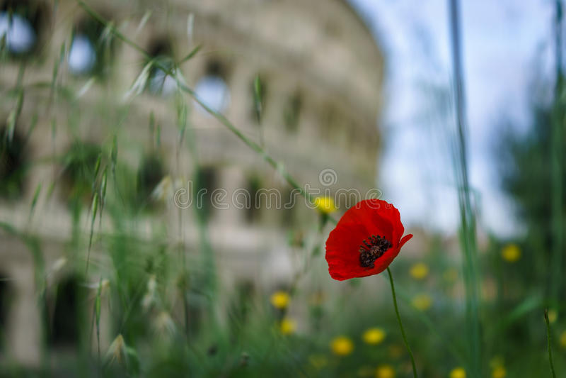 Cerrado para arriba de la flor roja de la amapola con Colosseum borroso en la parte posterior fotografía de archivo