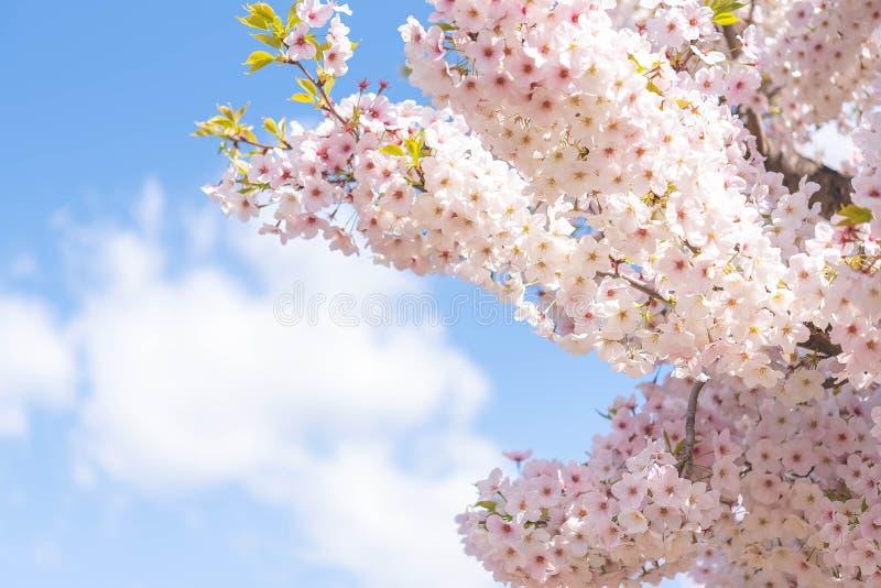 Cerrado para arriba en el flor alegre rosa claro, Sakura se encendió por luz del sol en Osaka Japan fotografía de archivo libre de regalías