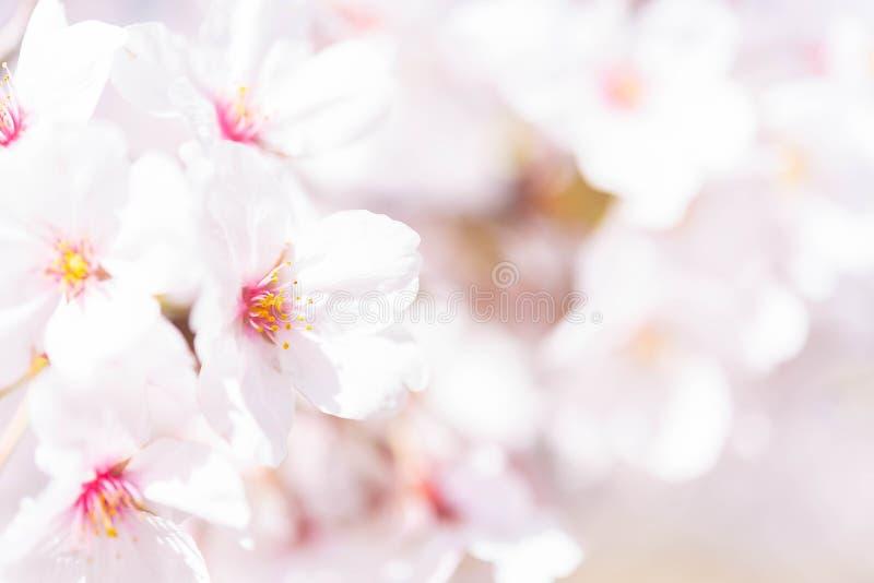 Cerrado para arriba en el flor alegre rosa claro, Sakura se encendi? por luz del sol en Osaka Japan imagenes de archivo