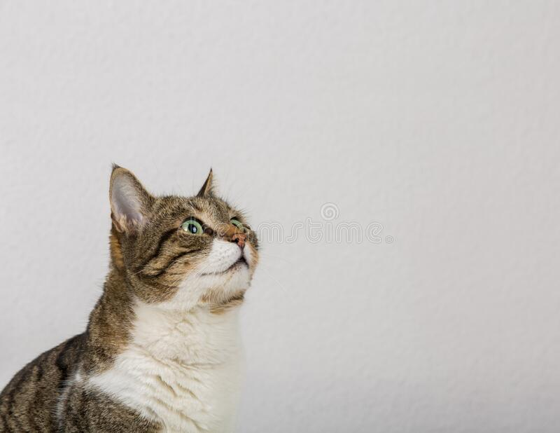 Cerrar el retrato de curioso gato rayado buscando atento aislado en fondo gris de pared con espacio de copia imagen de archivo