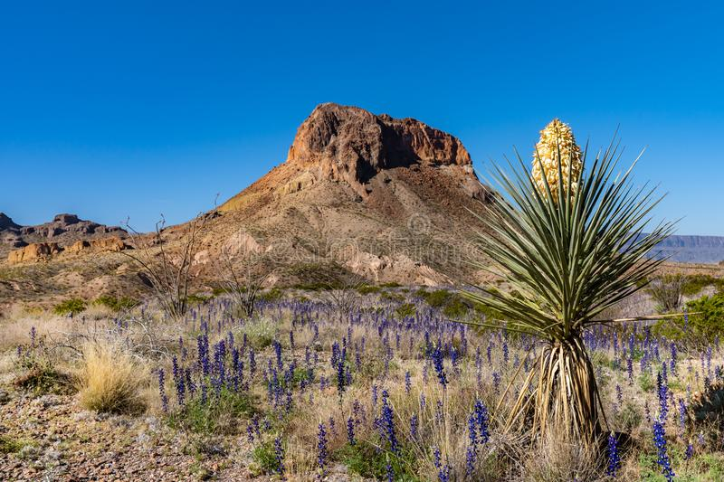 Cerro Castellan in the background of a desert yucca plant. And a field covered with blue bonnets stock photo