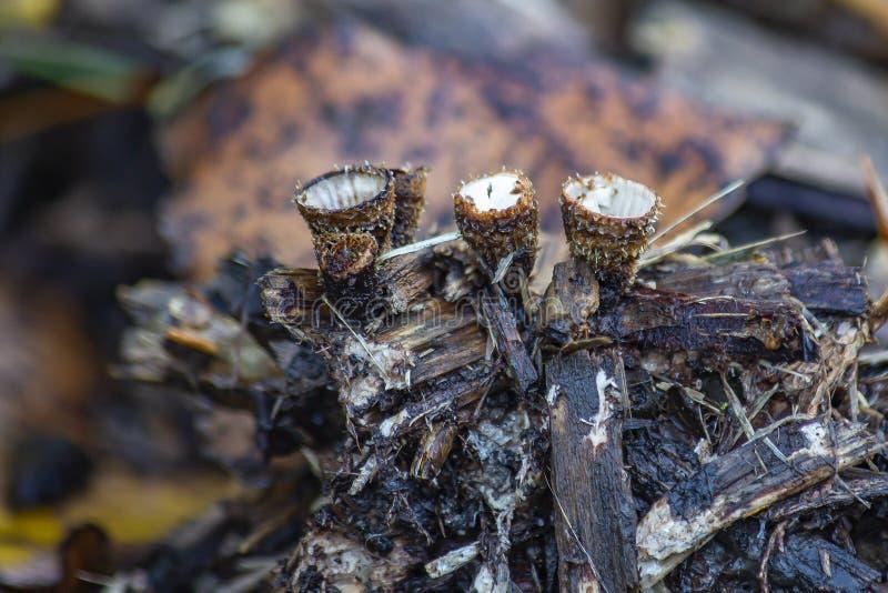 Certains des petits champignons cyathus eucyathus, sur bois pourri, Zoetermeer, Pays-Bas photo stock