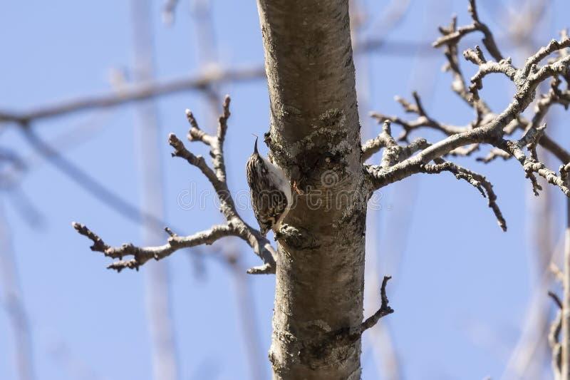 Certhia americana de plante grimpante de Brown, sur l'arbre images libres de droits
