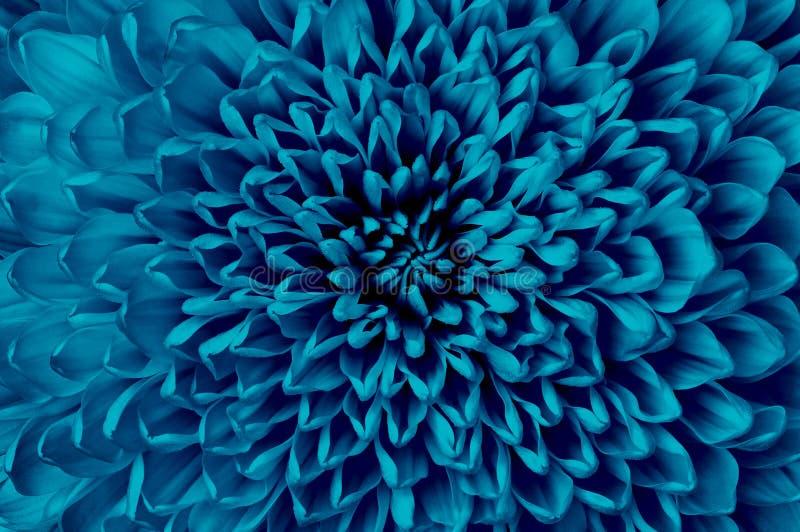 Cerulean Blumennahaufnahme der Chrysantheme Makro Es kann im Websitedesign und -drucken verwendet werden stockbilder