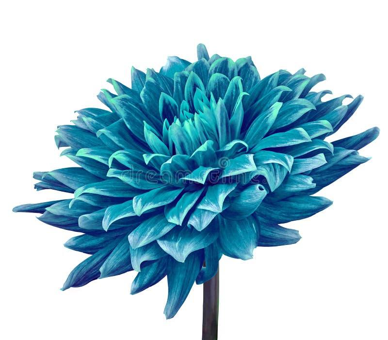 Cerulean cyan-blaue Blumendahlie lokalisiert auf einem weißen Hintergrund Nahaufnahme Blume auf einem Stamm stockbilder