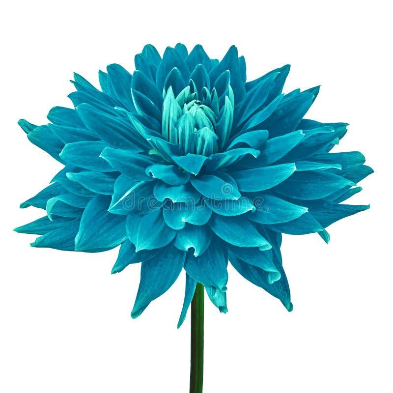 Cerulean cyan-blaue Dahlienblume lokalisiert auf einem weißen Hintergrund mit Beschneidungspfad Nahaufnahme Blume auf einem Stamm lizenzfreie stockbilder