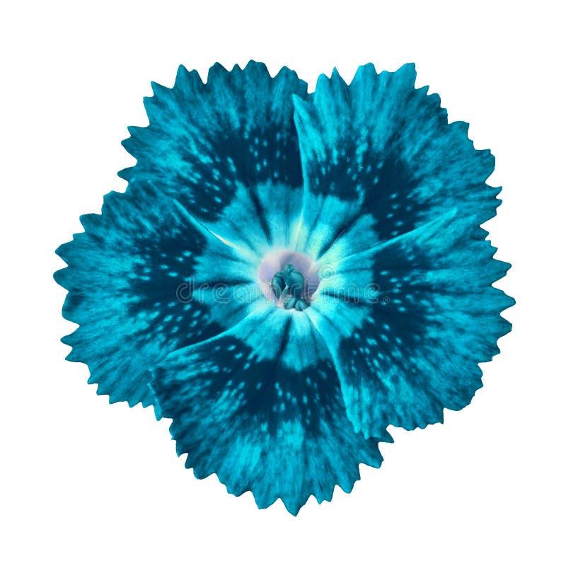 Cerulean cyan-blaue Gartennelkenblume lokalisiert auf weißem Hintergrund Nahaufnahme lizenzfreies stockfoto