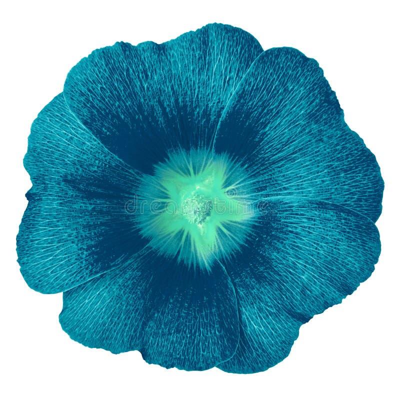 Cerulean cyan-blauer Blume Lavatera lokalisiert auf weißem Hintergrund Blumenknospeabschluß oben lizenzfreie stockbilder
