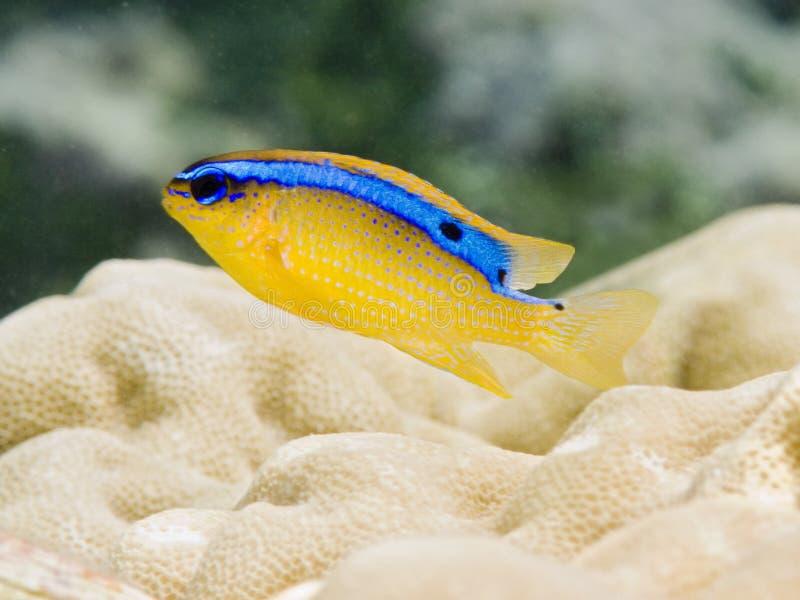 Cerulean Damsel. A little yellow and blue Caerulean Damsel in polynesian coral reef italian name: Damigella cerulea scientific name: Pomacentrus Caeruleus stock photography