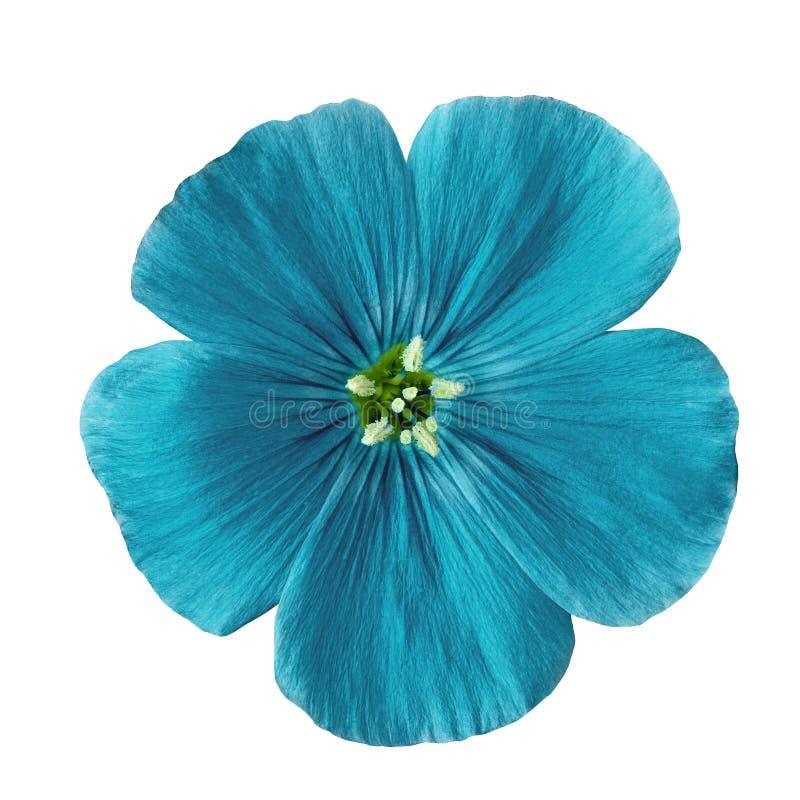 Cerulean Flachs der Blume lokalisiert auf weißem Hintergrund Blumenknospeabschluß oben lizenzfreies stockbild