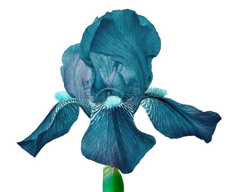Cerulean Irisblume lokalisiert auf einem weißen Hintergrund Nahaufnahme lizenzfreies stockfoto