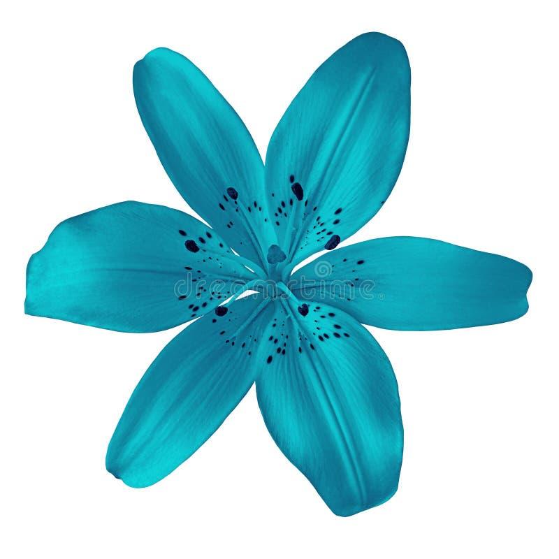 Cerulean Lilie der Blume lokalisiert auf weißem Hintergrund Nahaufnahme lizenzfreie stockfotos