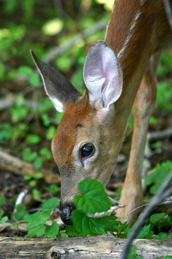 Download Cervatillo Atado Blanco De Los Ciervos Imagen de archivo - Imagen de animales, deers: 1278963