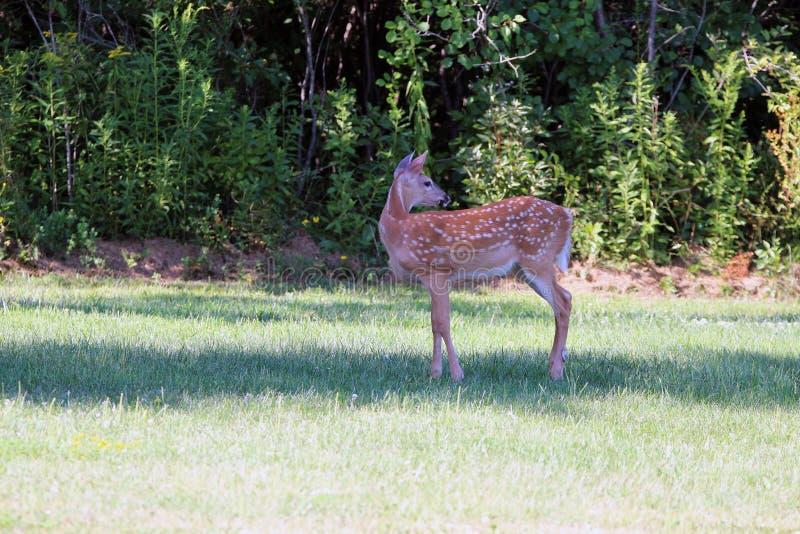 Cervatillo de los ciervos de la cola blanca de la primavera fotografía de archivo