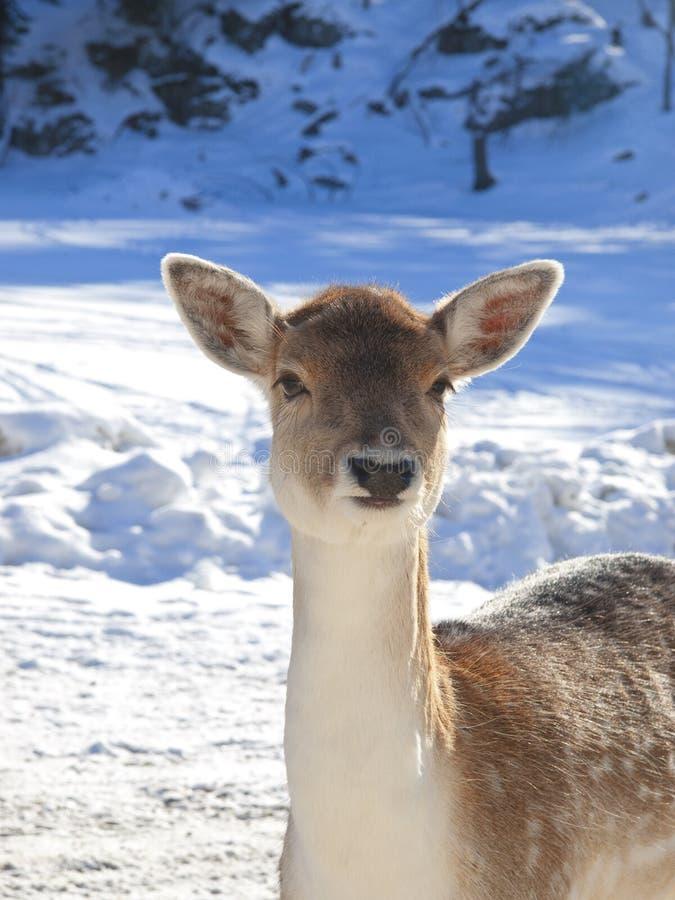 Cervatillo de los ciervos del bebé imágenes de archivo libres de regalías