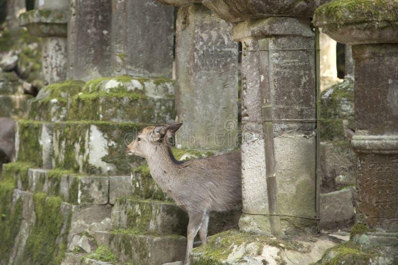 Cervatillos o ciervos entre las linternas de piedra en Tobishino en la ciudad de Nara en Japón 1 fotos de archivo