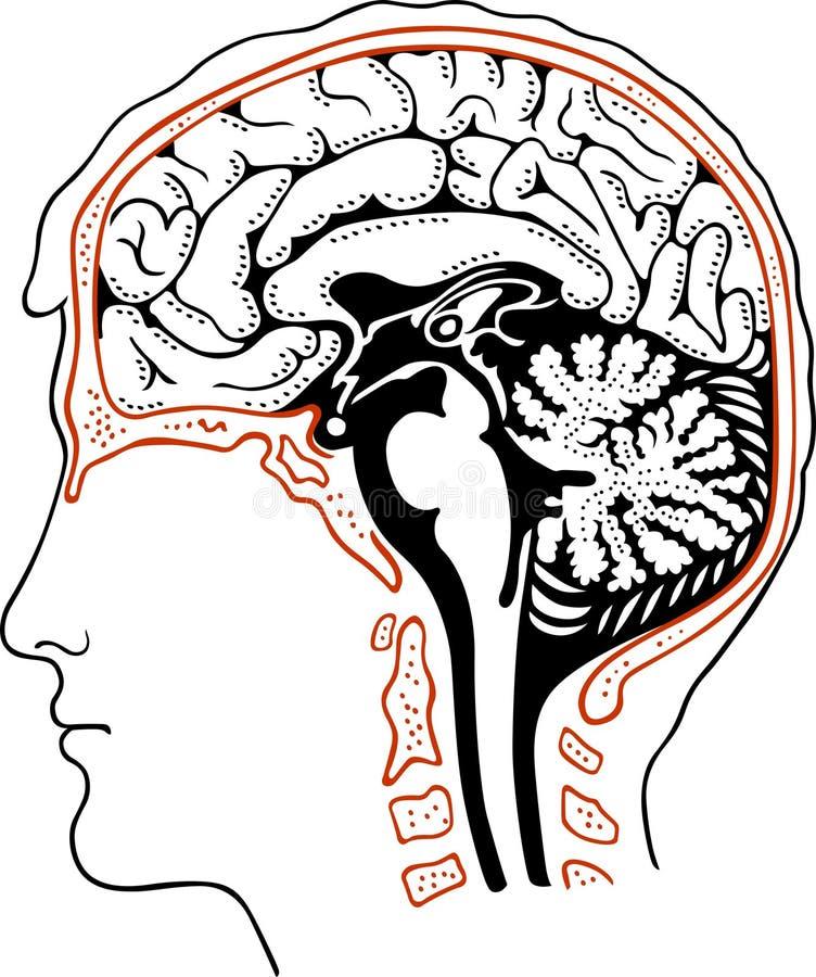 Cerveau humain illustration de vecteur