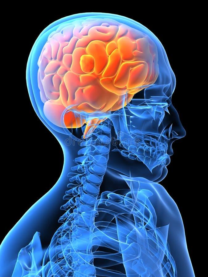 Cerveau humain illustration libre de droits