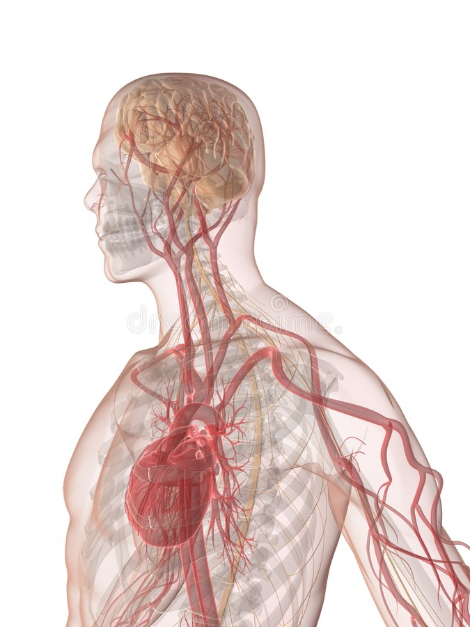Cerveau humain et coeur illustration de vecteur