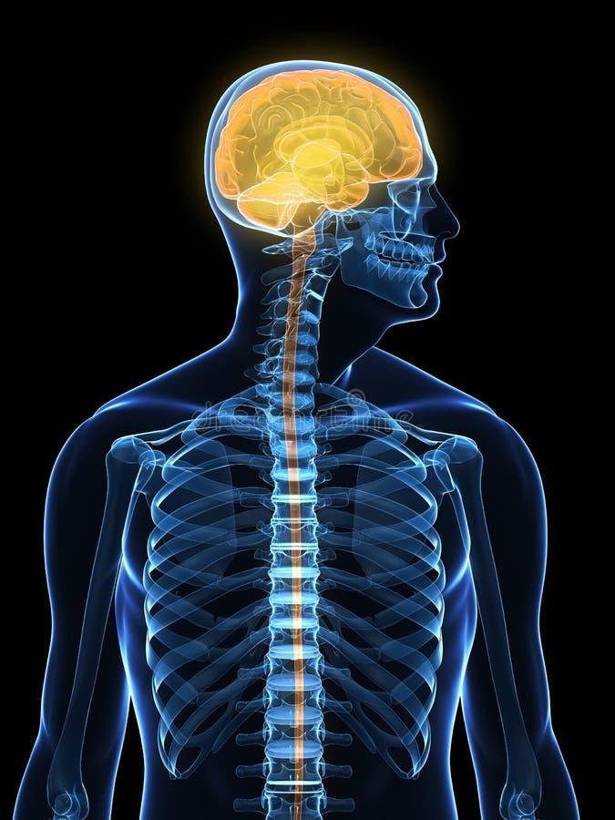 Cerveau mis en valeur humain illustration de vecteur