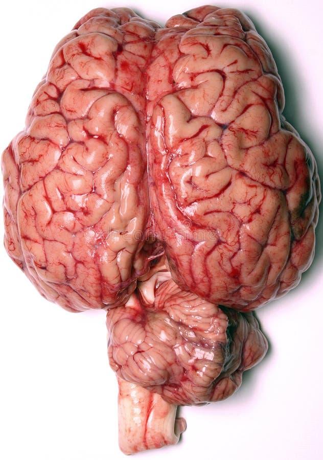 Cerveau réel photographie stock libre de droits