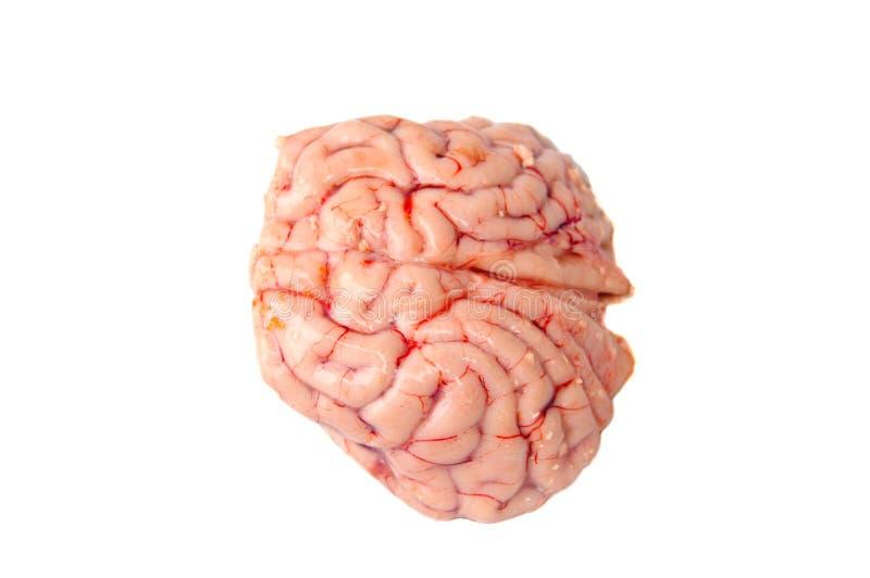 Download Cervello Di Un Cervo Con Coda Nera Immagine Stock - Immagine di medico, neurologia: 30825689