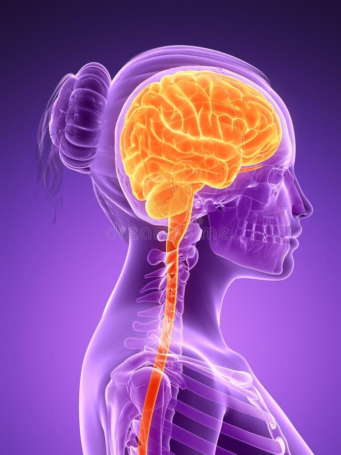 Cervello femminile illustrazione vettoriale