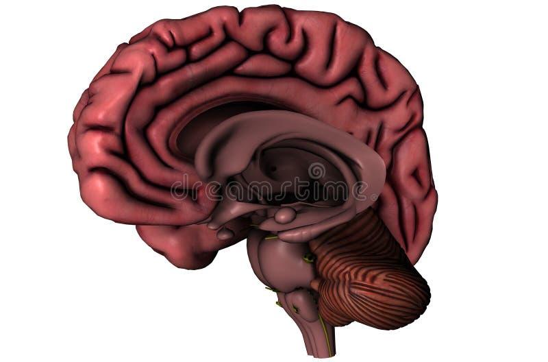 Cervello sagittale umano illustrazione vettoriale