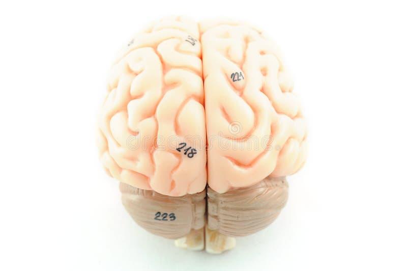 Cervello umano fotografie stock libere da diritti