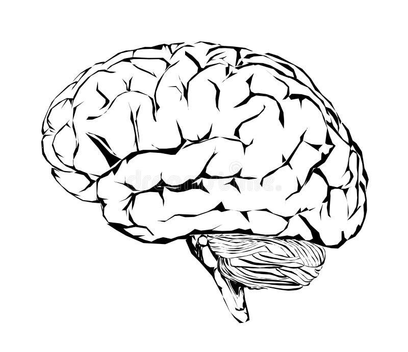 Cervello umano, cervelletto ed emicranie Emicrania royalty illustrazione gratis