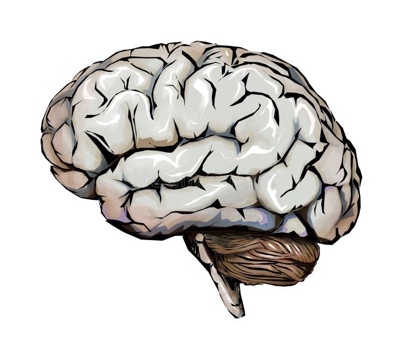 Cervello umano, cervelletto ed emicranie Emicrania illustrazione di stock