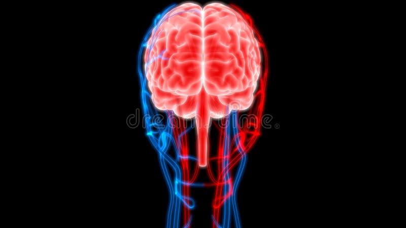Cervello umano con i nervi, le vene e l'anatomia delle arterie illustrazione vettoriale