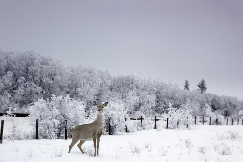 Cerveza blanca venada parada en la nieve fotografía de archivo libre de regalías