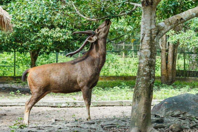Cervi, animale, cervo in zoo immagine stock