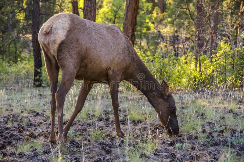 Cervi che guardano fisso nella foresta in Grand Canyon immagine stock libera da diritti