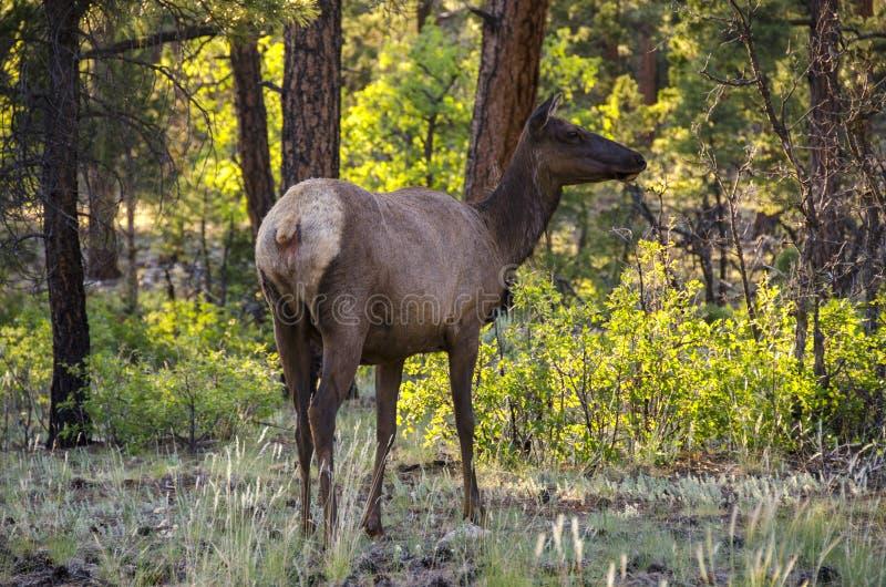 Cervi che guardano fisso nella foresta in Grand Canyon immagini stock libere da diritti