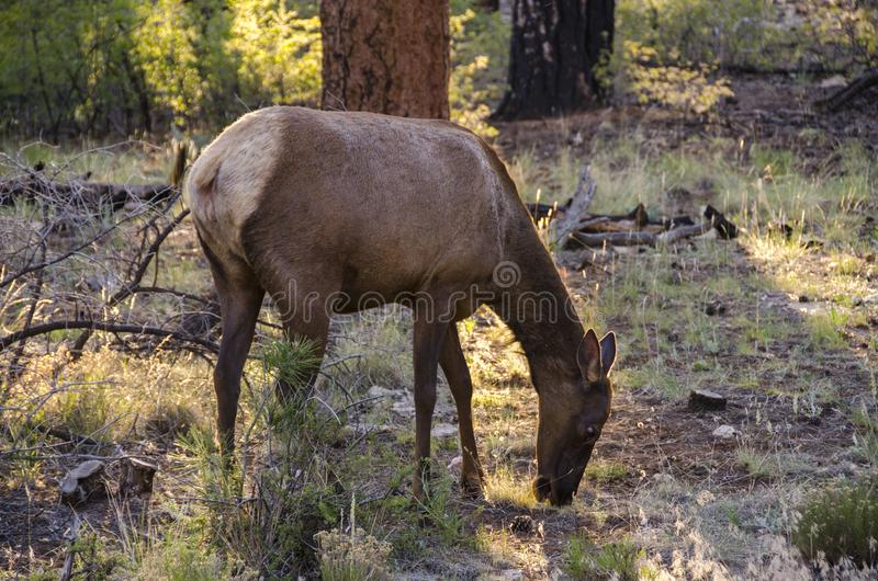 Cervi che guardano fisso nella foresta in Grand Canyon fotografie stock